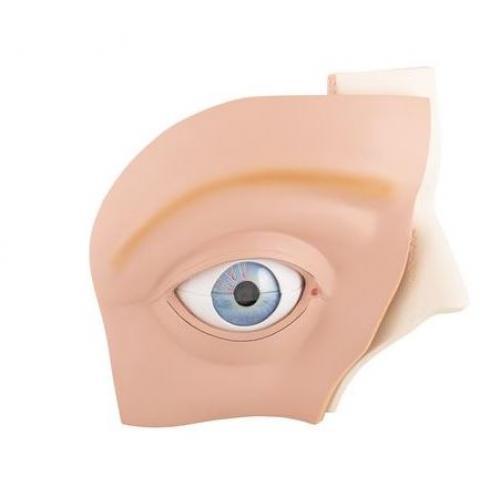 Augenmodell  5-fache Größe 12-teilig