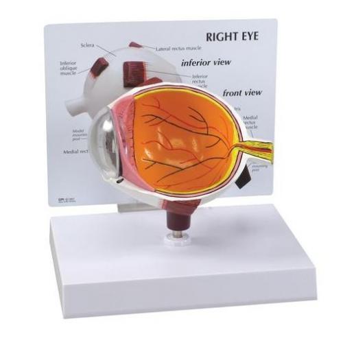 Augenmodell normal mit Ausschnitt