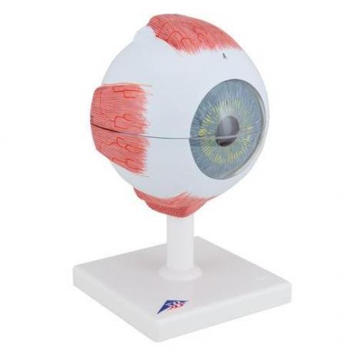 Augenmodell 5-fache Größe 6-teilig