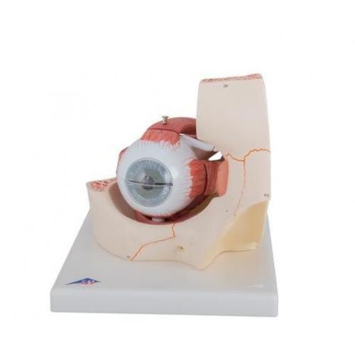 Augenmodell 3-fache Größe 7-teilig