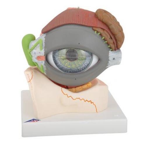 Augenmodell 5-fache Größe 8-teilig